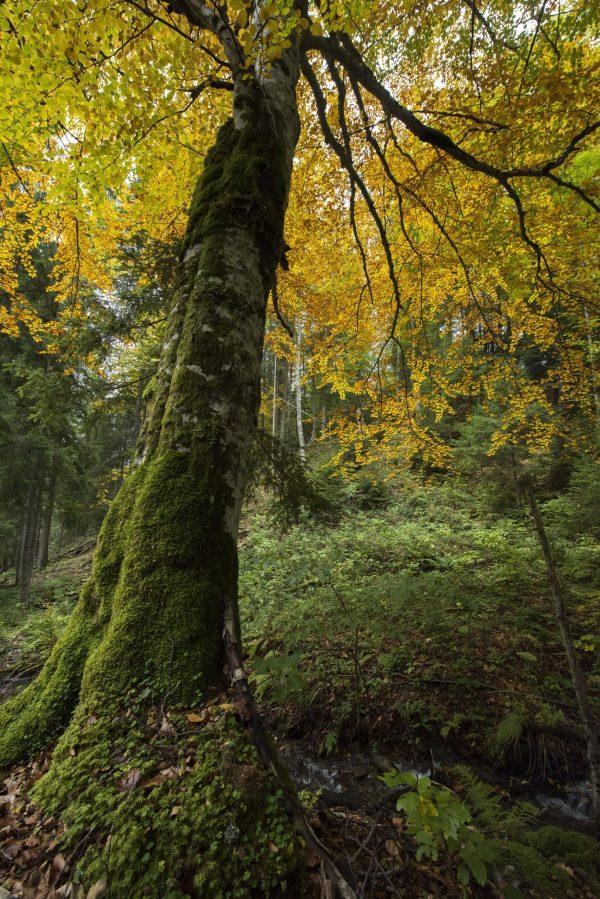 Beech_tree_Daniel Rosengren