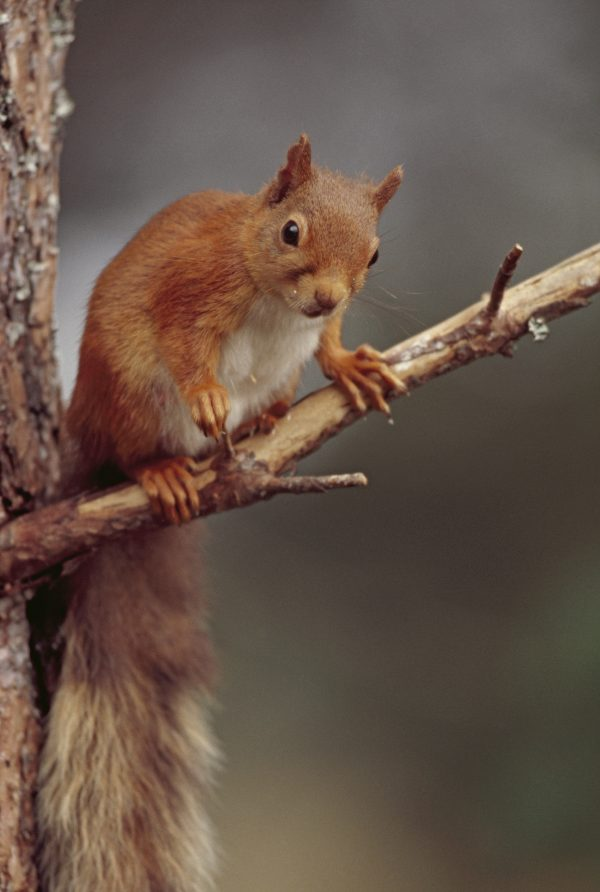 Red Squirrel RSPB Images