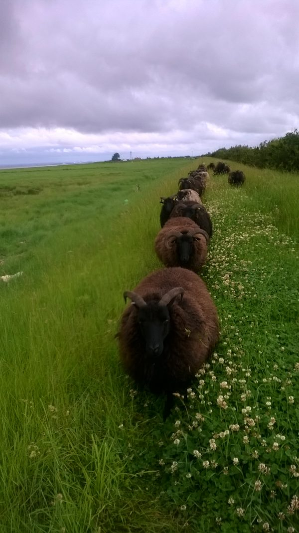 Sheep at Stone creek - Steve Norton (3)