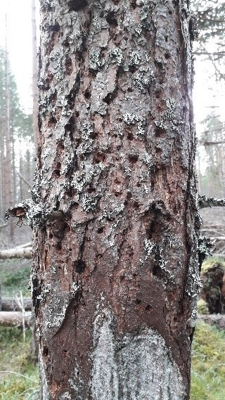 Deadwood, here created by ring barking, can provide an important habitat for specialised invertebrates. Photo: Cairngorms Connect