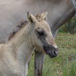 Sorraia horse foal